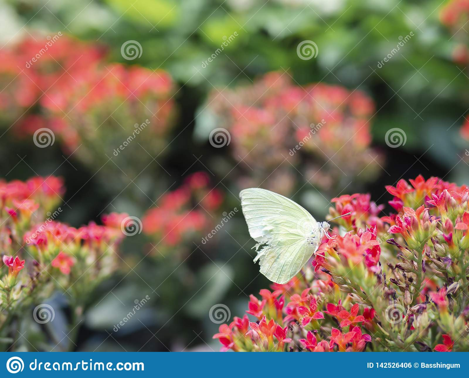 Close up broken wing white butterfly Cabbage white  Pieris rapae on red flower with green garden background
