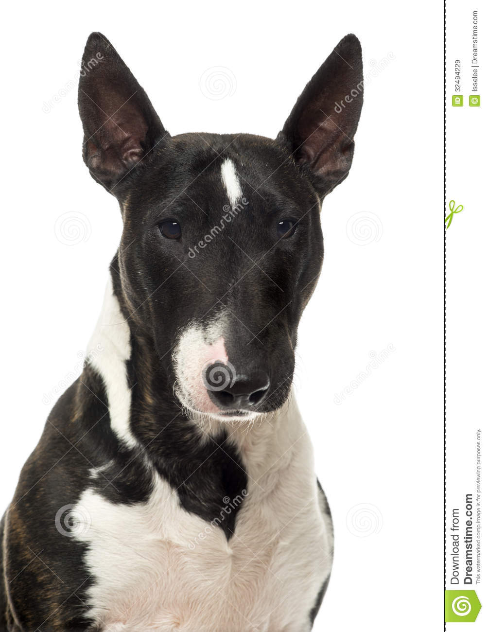 Close Up Of A Bull Terrier Miniature, Isolated Royalty Free Stock ...