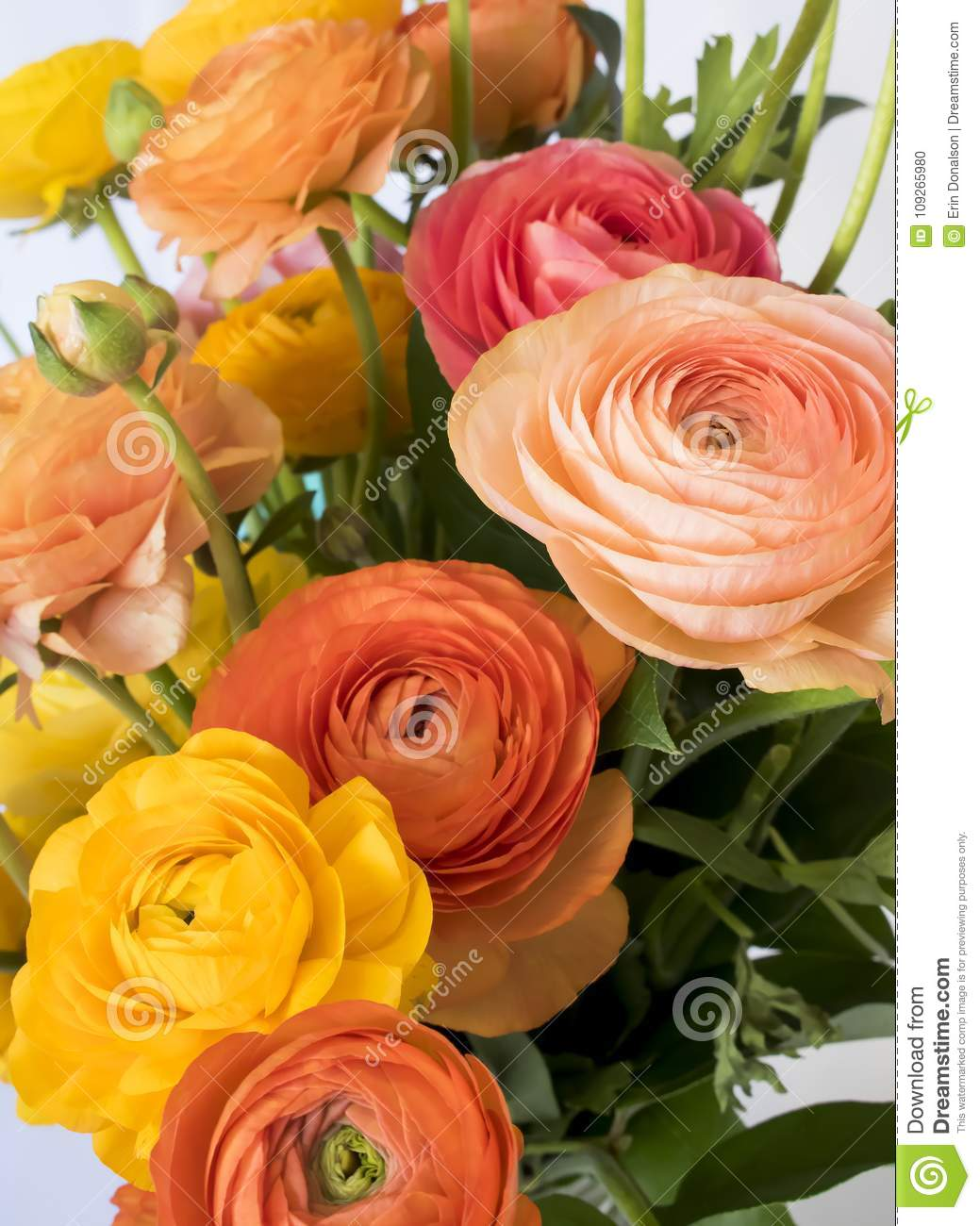Close Up Bunch Of Bright Orange Yellow And Pink Ranunculus Flowers Stock Photo Image Of Bloom Blossom 109265980