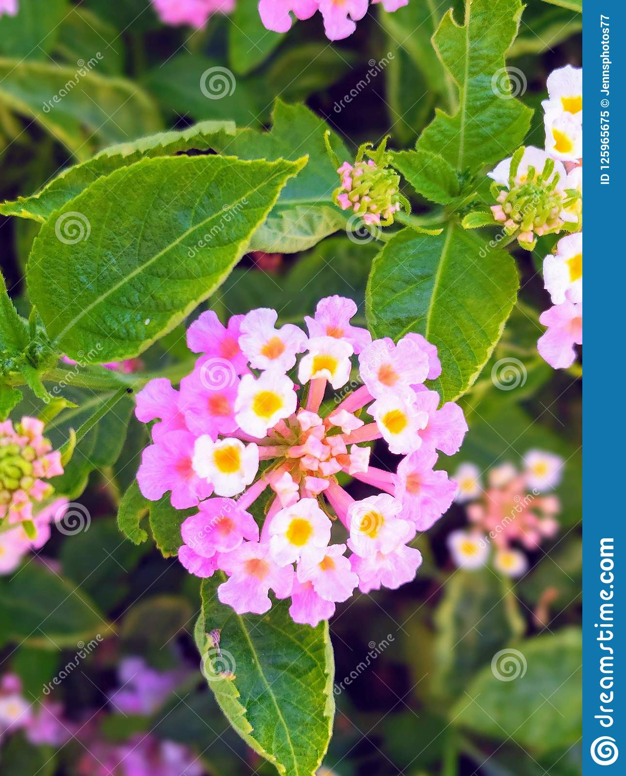 Bush Of Pink And White Flowers Stock Image Image Of White Small