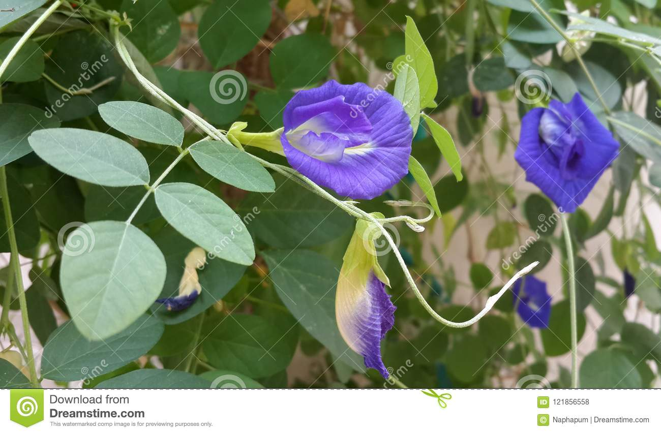Close Up Of Butterfly Pea Edible Herb Flower In The Herb Garden, Clitoria  Ternatea