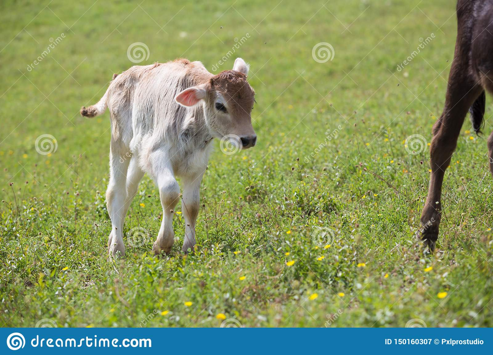 Close-up of calf in green field lit by sun with fresh summer grass on green blurred background. Cattle farming, breeding