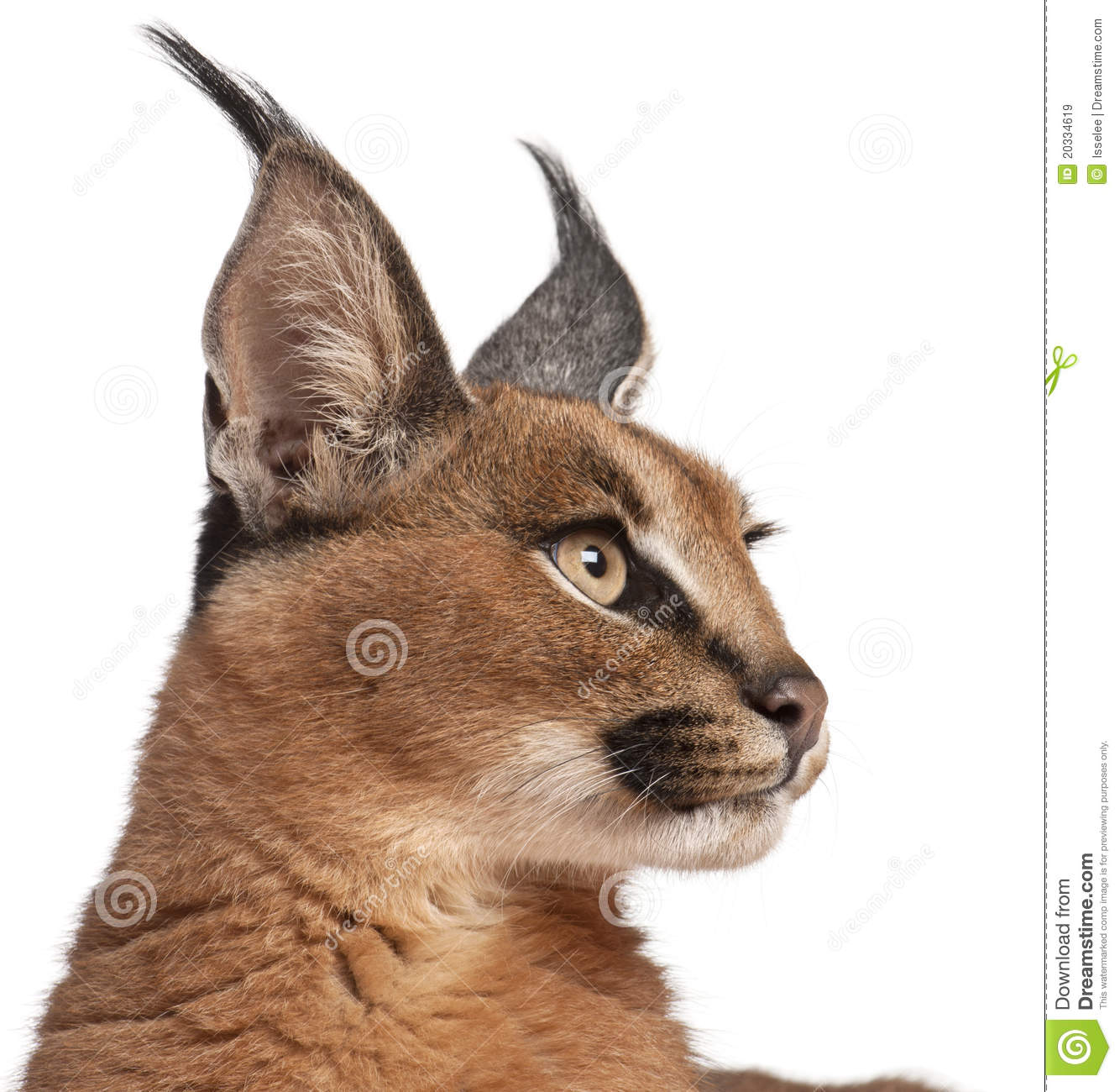 Close-up of Caracal, Caracal caracal
