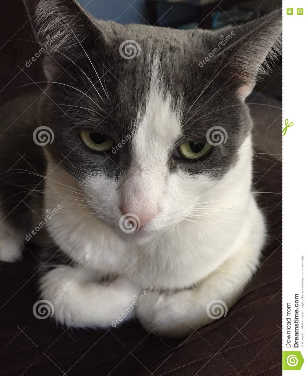 Close Up Of Cat With Paws Tucked  Stock Photo - Image of