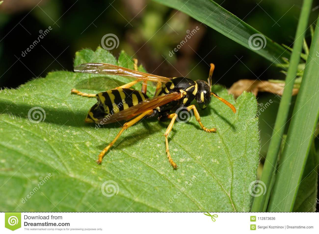 close up of caucasian striped yellow black wasp resting in the g