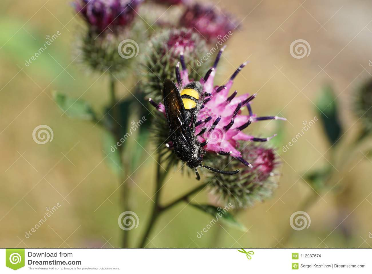 Close-up of a Caucasian wasp Scolia hirta on a flower of thistle