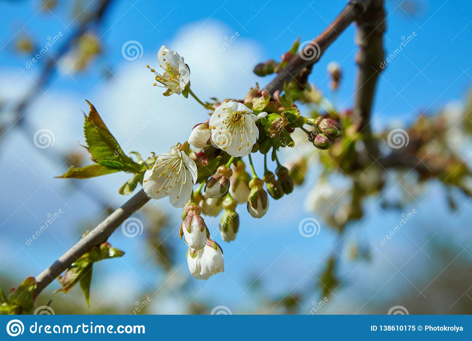 Close-up of a Cherry Plum tree