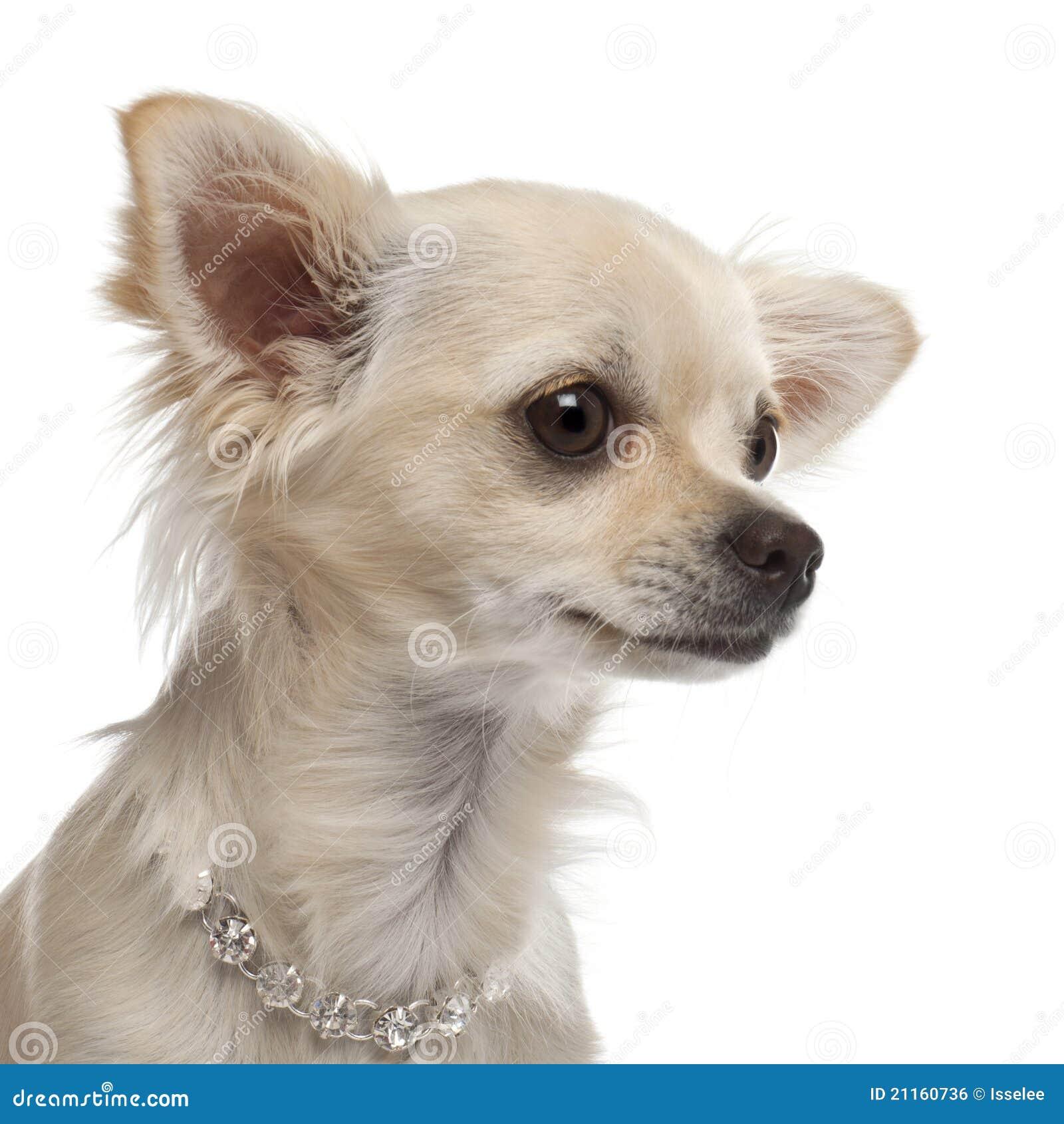 Chihuahua 9 Months Close-up Of Chihuahua,...