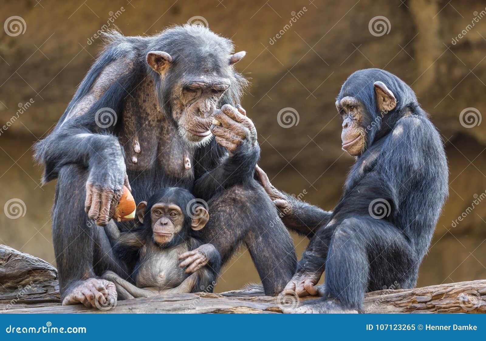 Close up of a Chimpanzee-family
