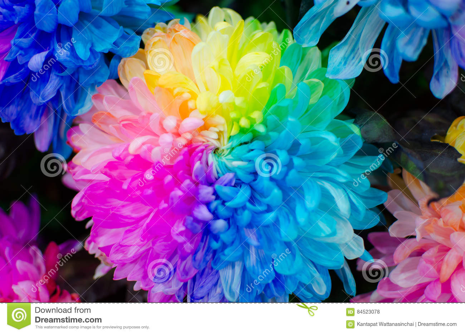 Close Up Chrysanthemum Rainbow Stock Photo Image Of Close Environment 84523078