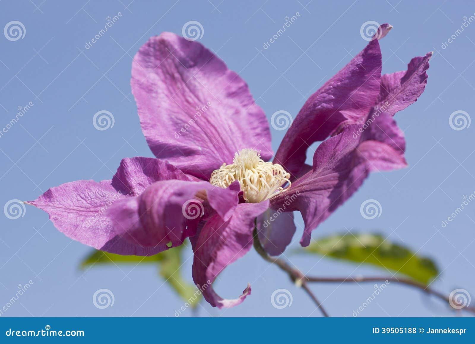 Close up of a Clematis Pillu flower