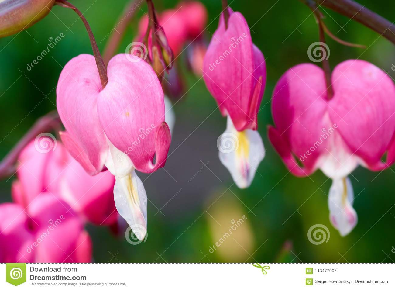Pretty Pink Bleeding Heart Flowers String Out On A Branch Stock