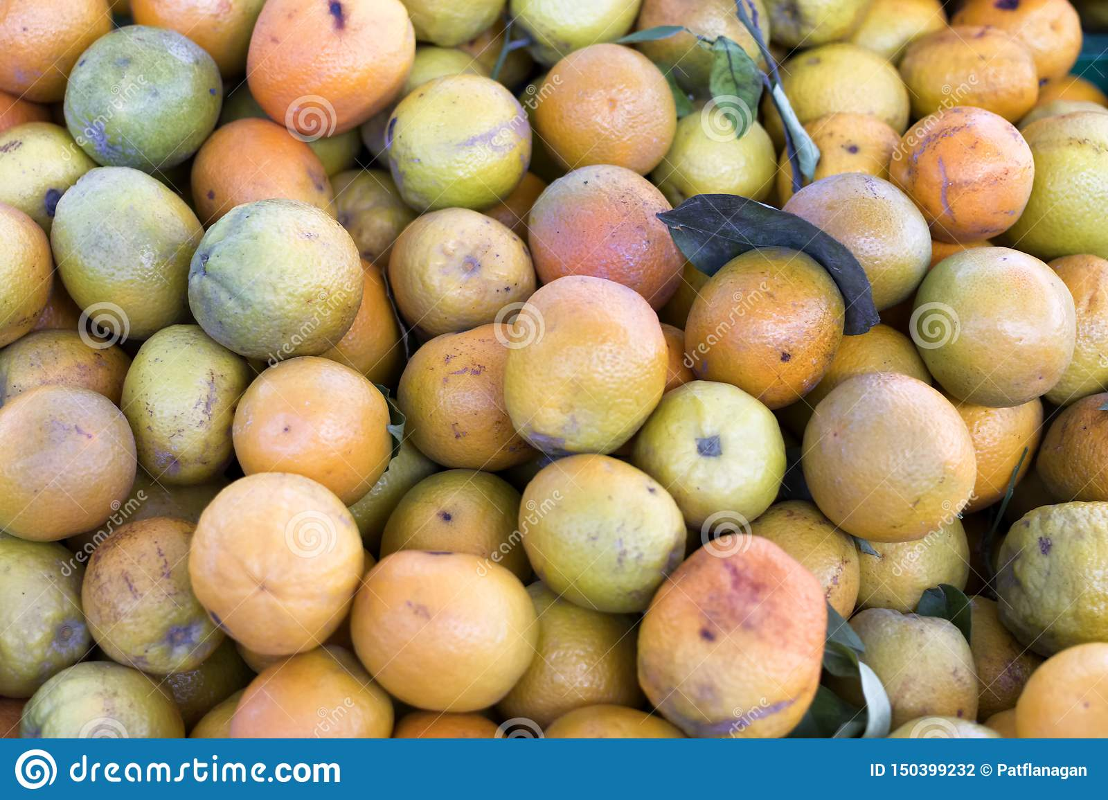 Collection of oranges from a Spanish orange grove