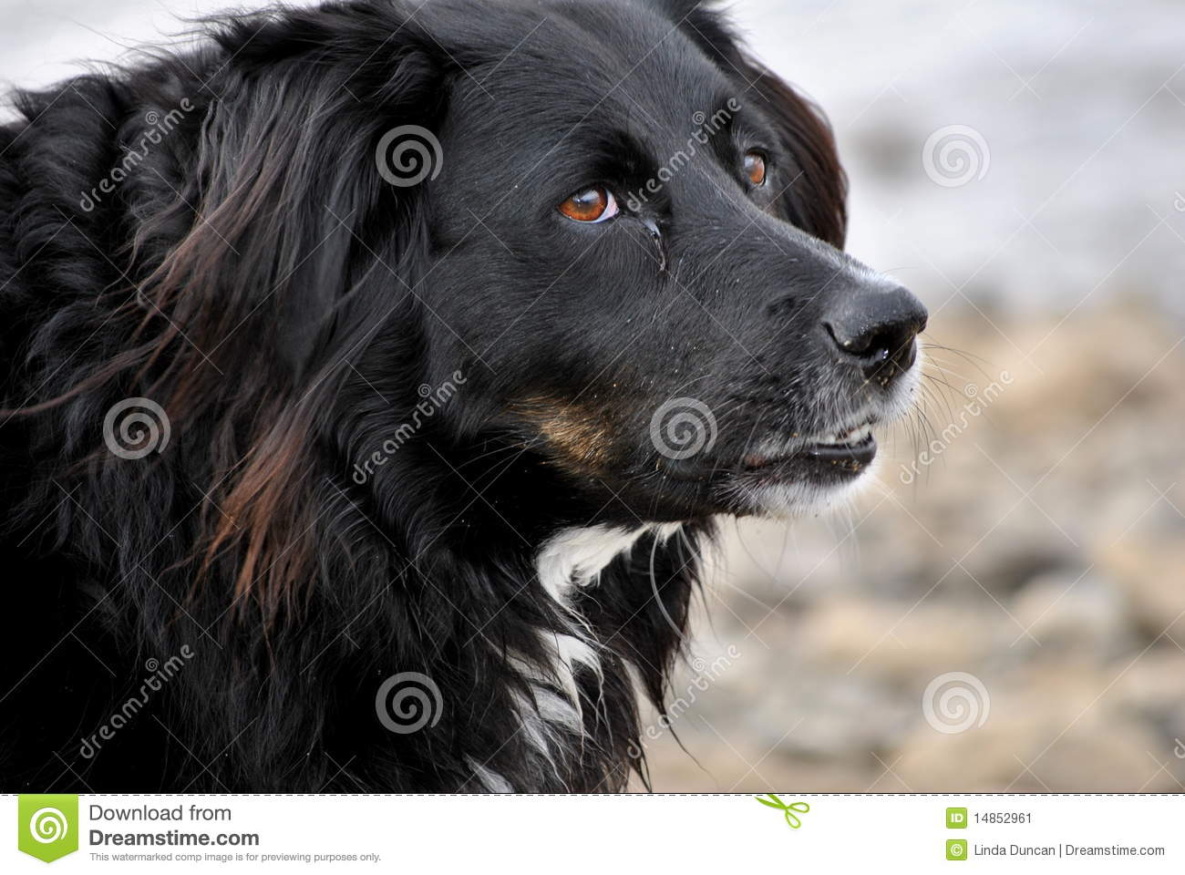 Close up of a colllie dog