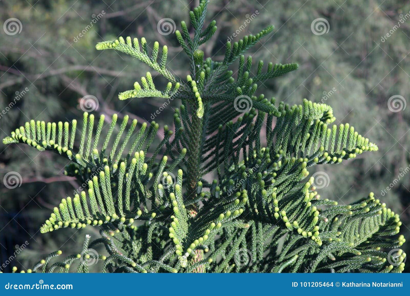 Star Pine Norfolk Pine Araucaria Heterophylla Tree
