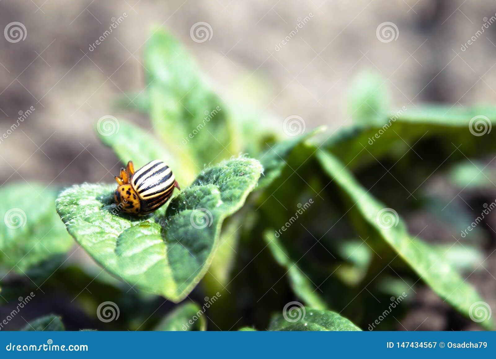 Close-up of the Colorado potato beetle on young leaves of potato