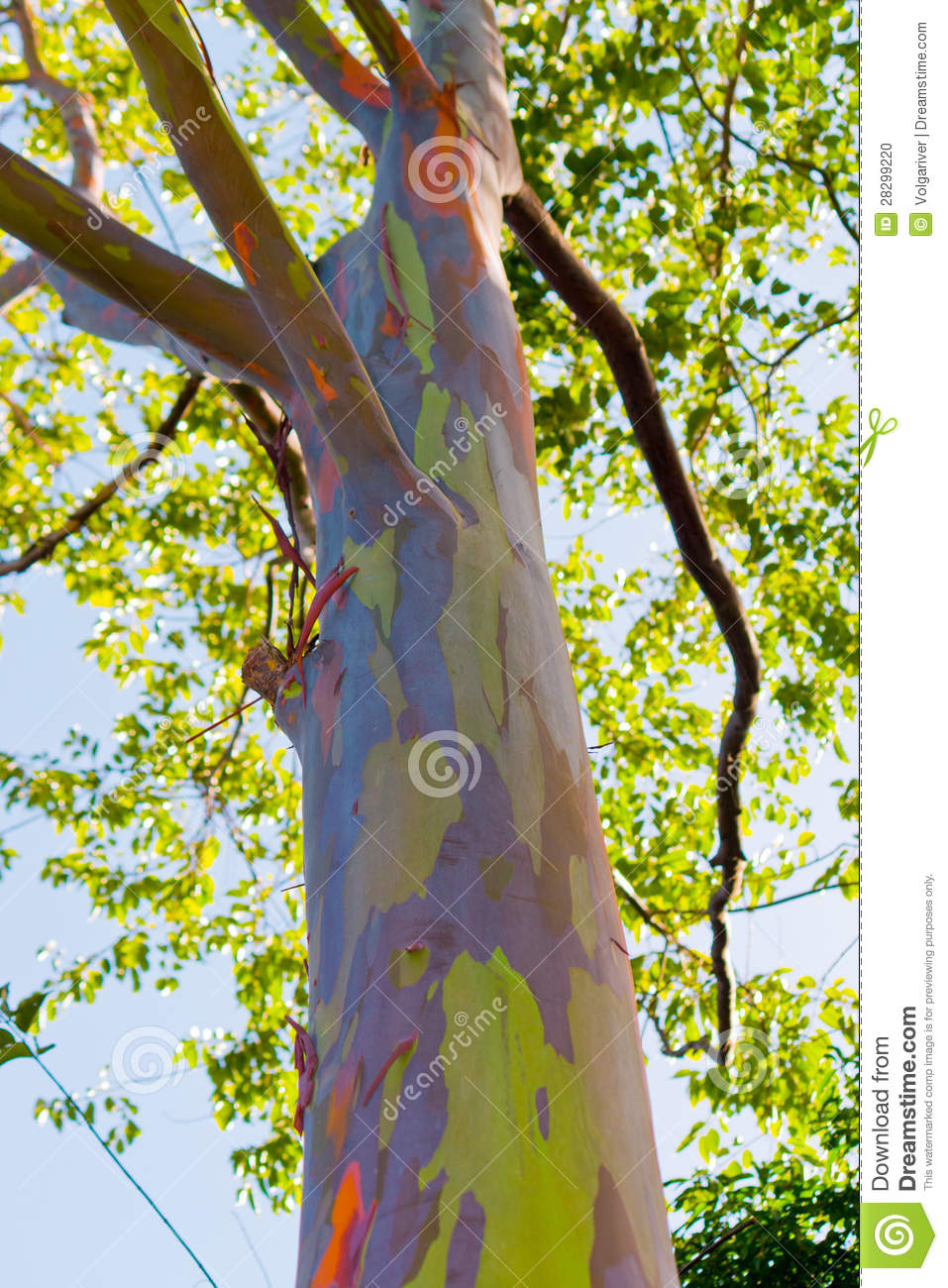 Close Up Of Colorful Abstract Pattern Of Rainbow Eucalyptus Tree ...