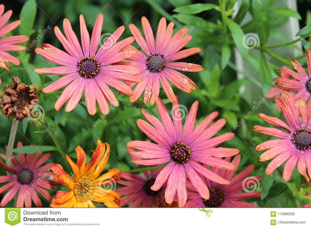 COLORFUL BUNCH OF GERBER DAISIES