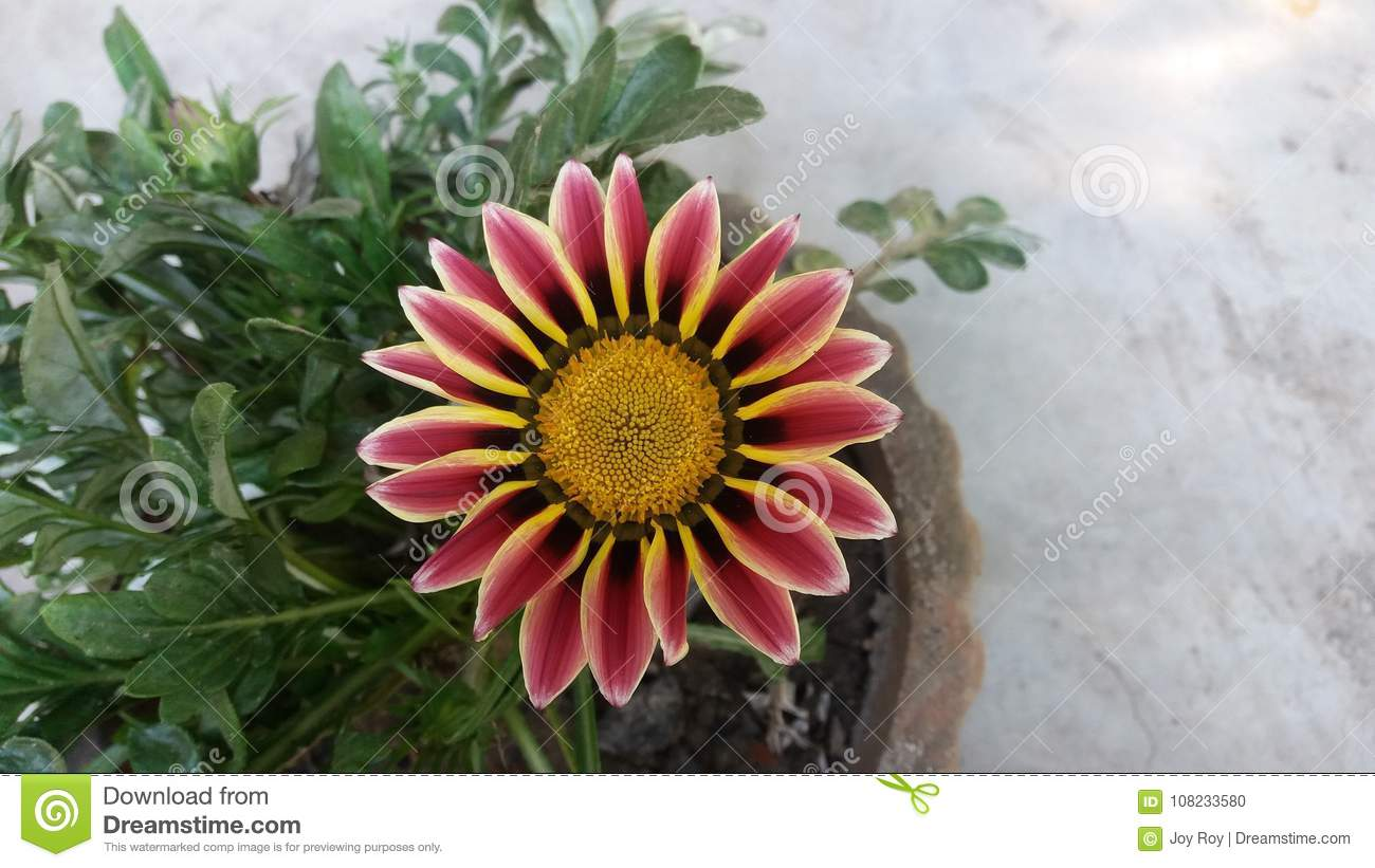 Close-up Colorful Flower On Tub Stock Photo - Image of outdoor ...
