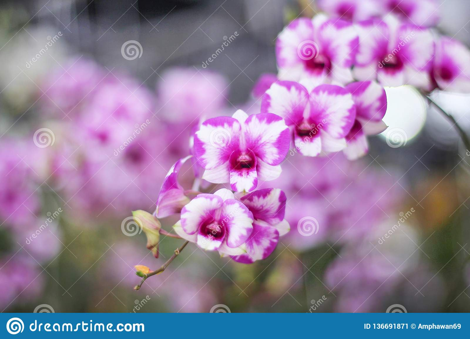 Colorful inflorescence of purple orchids with white striped blooming in garden background,natural flower huge group hanging on