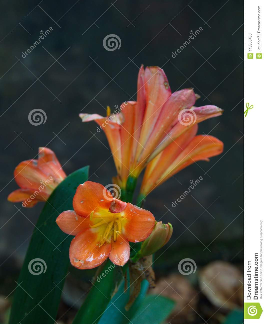 Close Up A Colorful Lily Flower In Himalaya Mountain In Tibet An