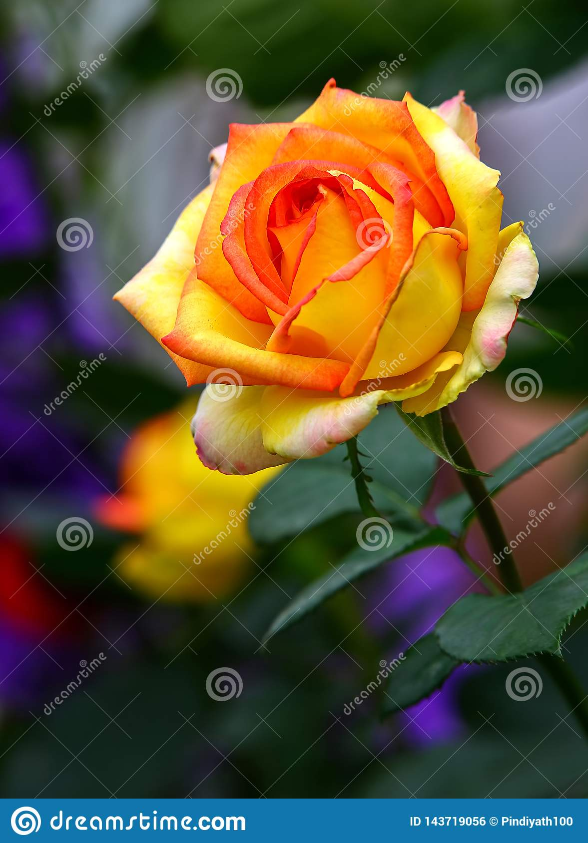 Yellow red colored beautiful rose in spring garden.