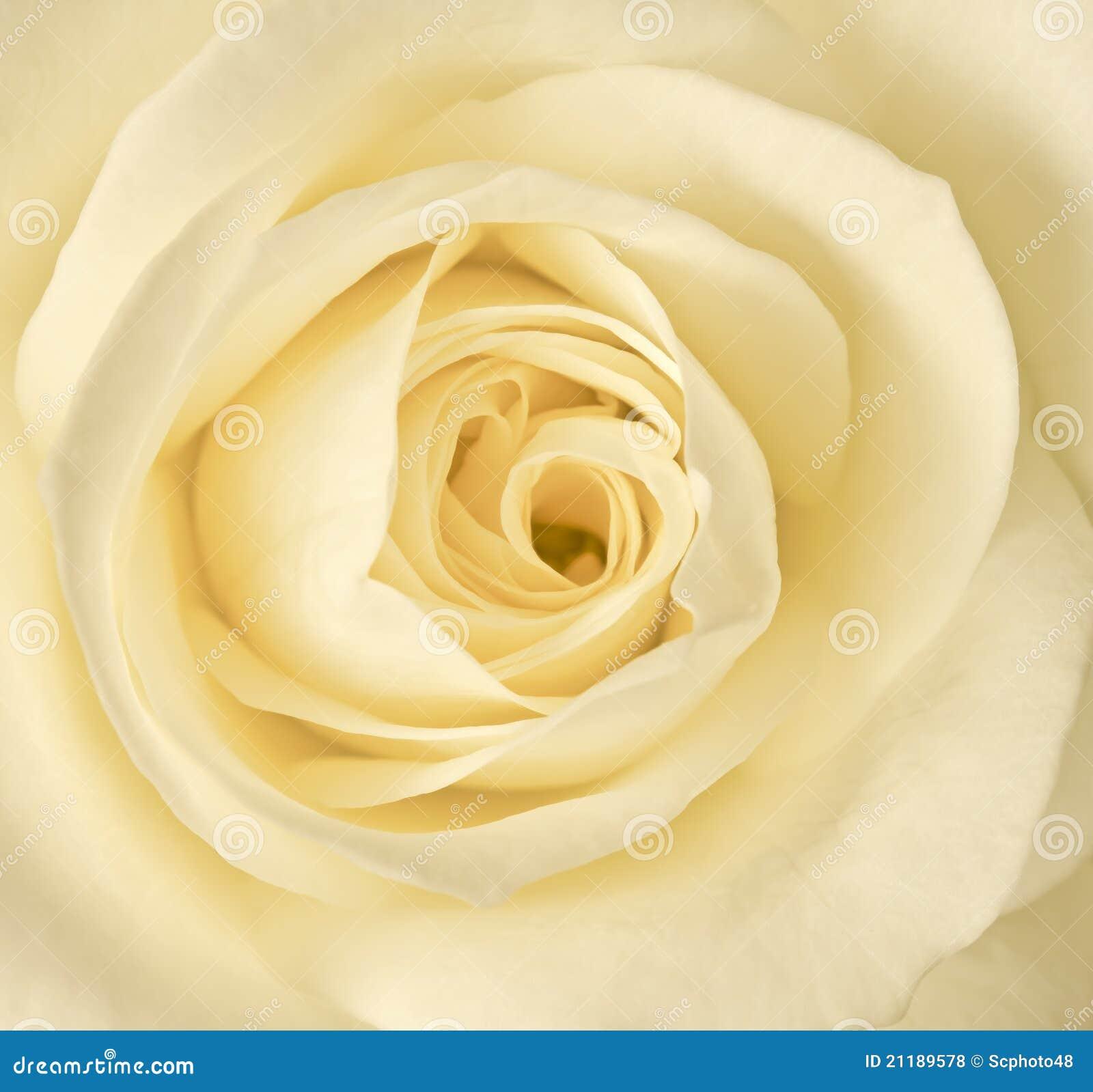 Close up cream rose stock photo image of view for Cream rose wallpaper