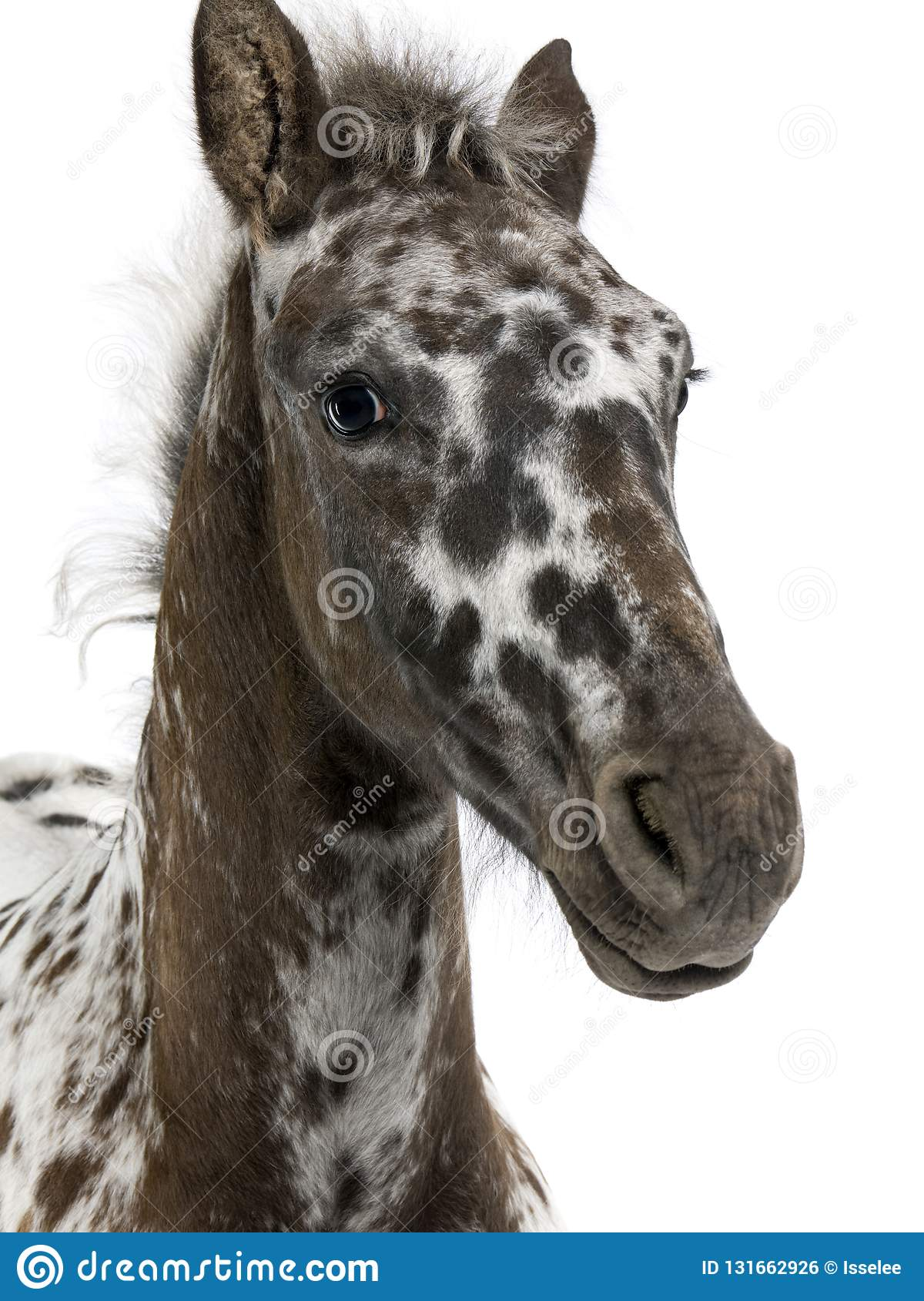 Close Up Of A Crossbreed Foal Between A Appaloosa And A Friesian Horse 3 Months Old Stock Photo Image Of Cattle Close 131662926