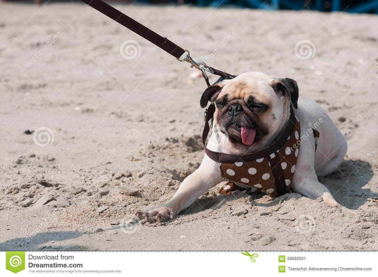Close-up cute dog pug wink eye fear and afraid water sea beach when people try to pull pug to play swim on sand