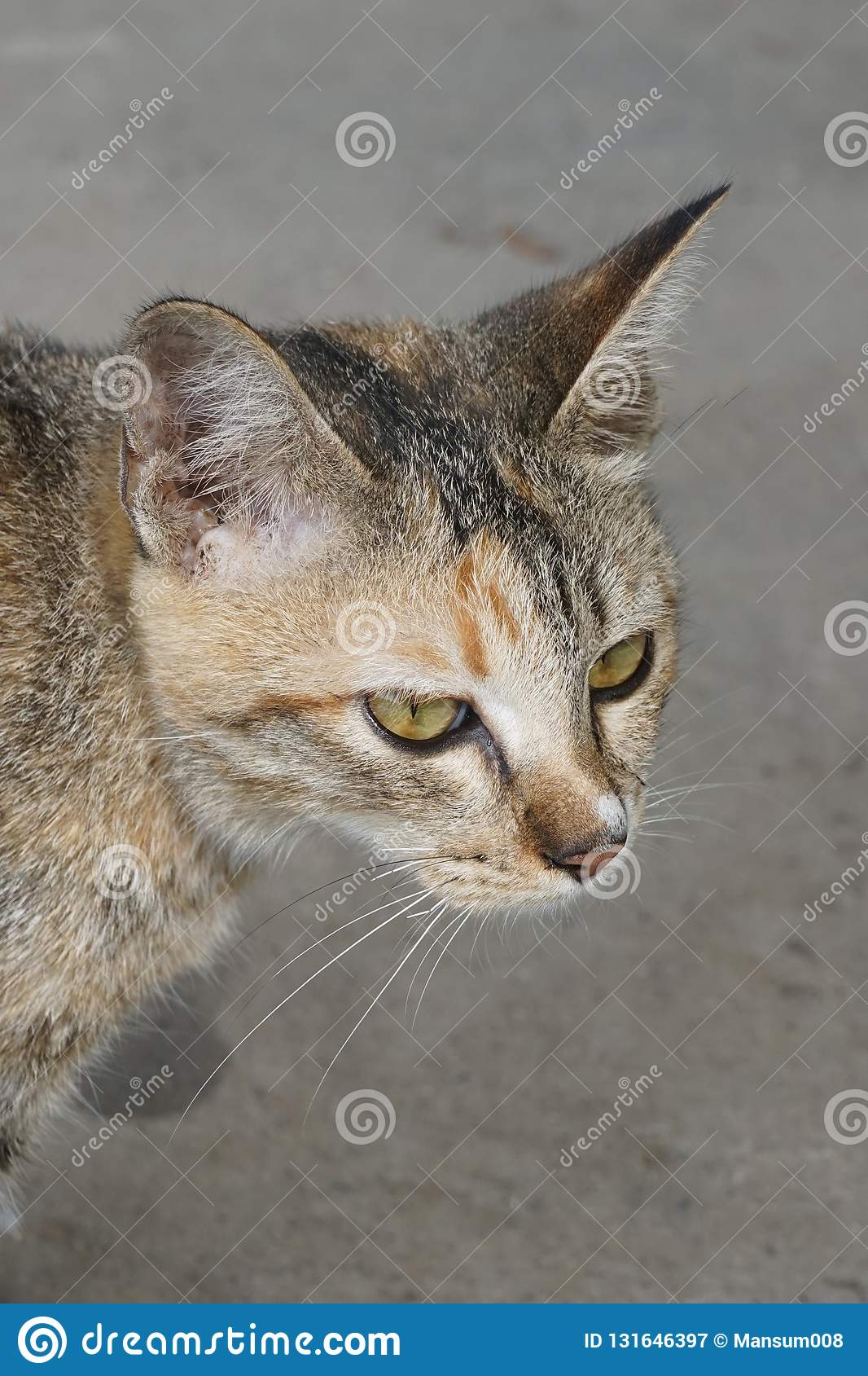 Cute tabby cat in country Thailand