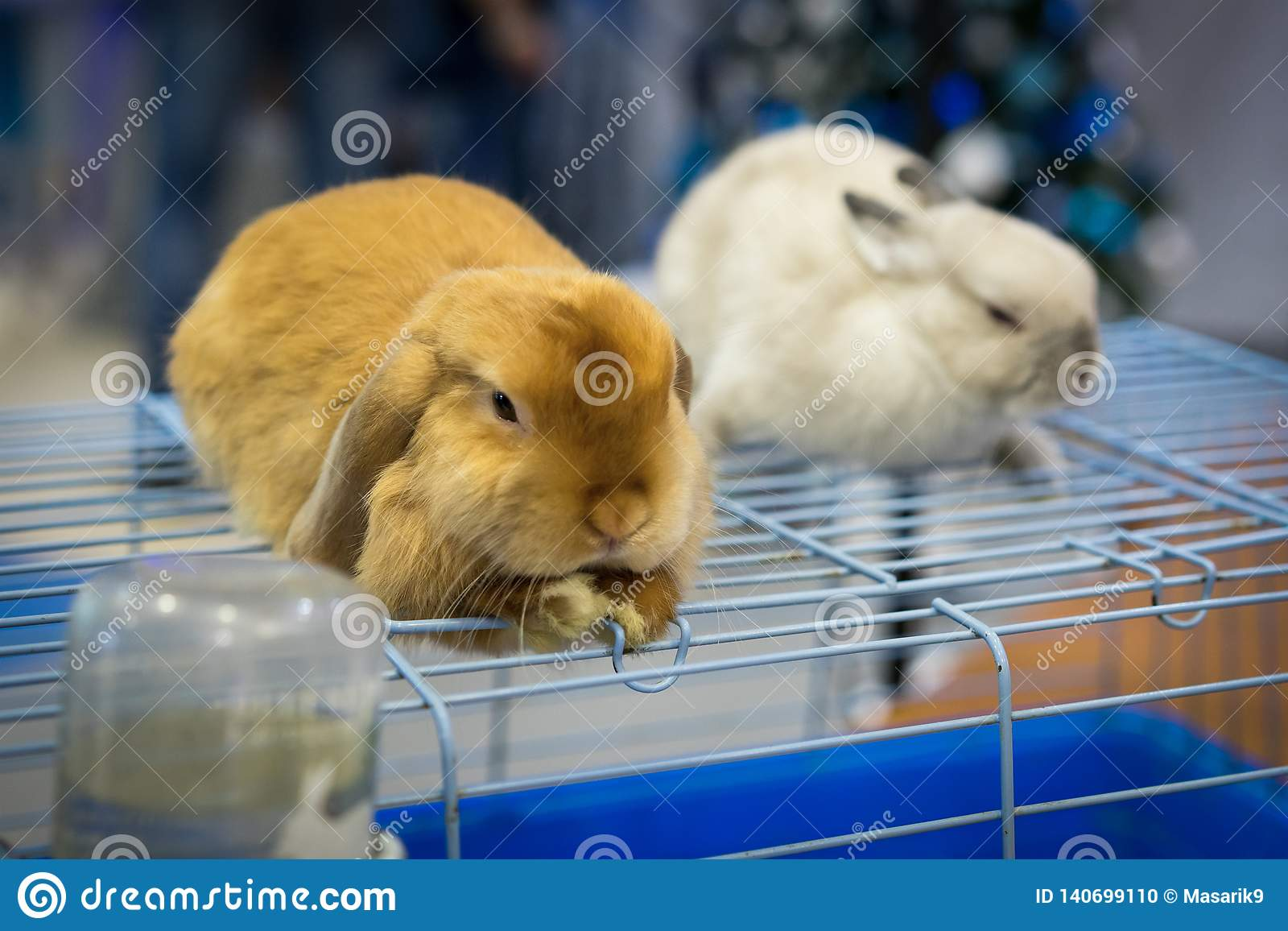 Close up cute two rabbits gray and red at an exhibition of animals sit on a cage