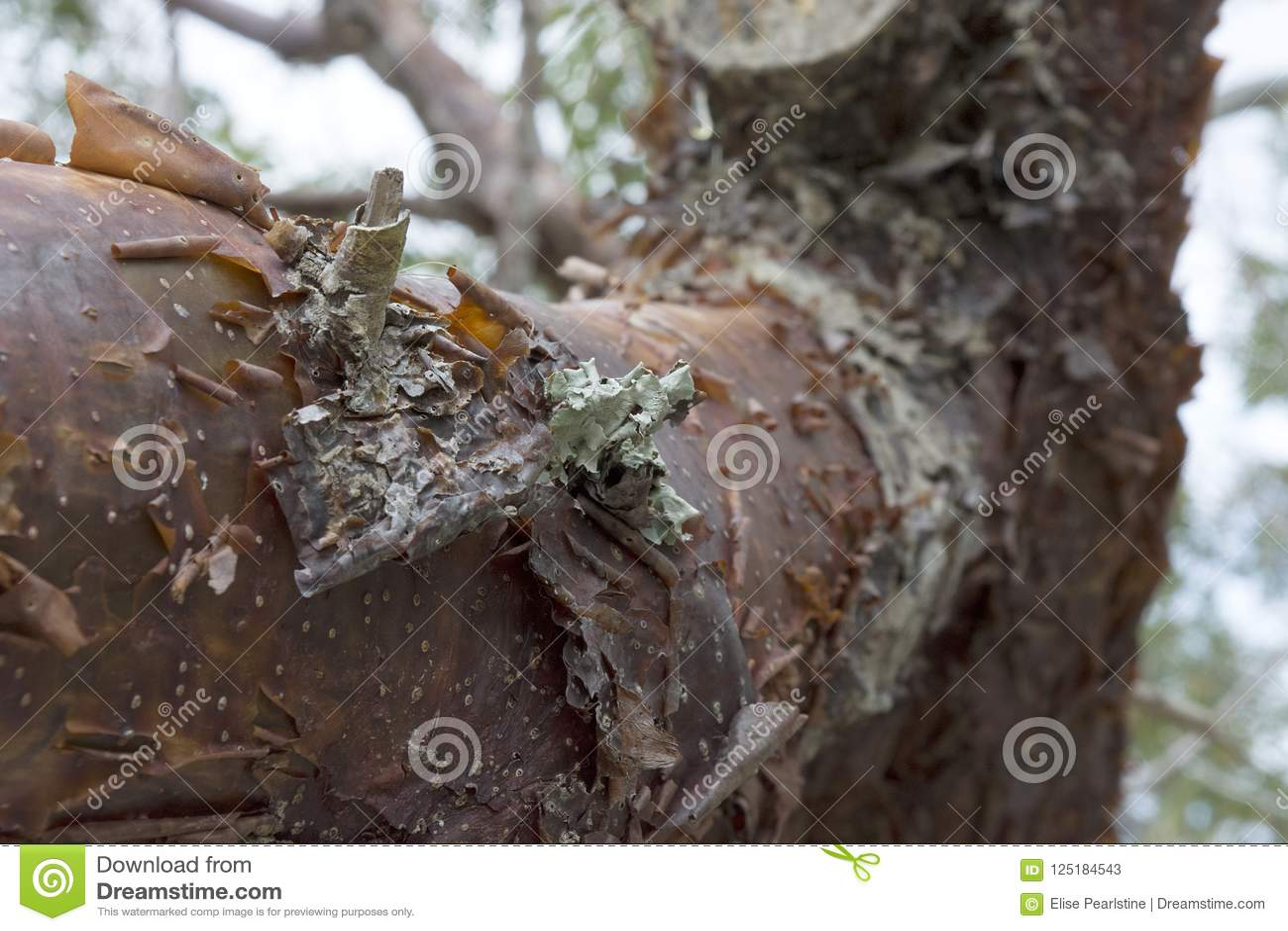 Close up da árvore do limbo do Gumbo com descascamento da casca e de Lichen Detail avermelhados