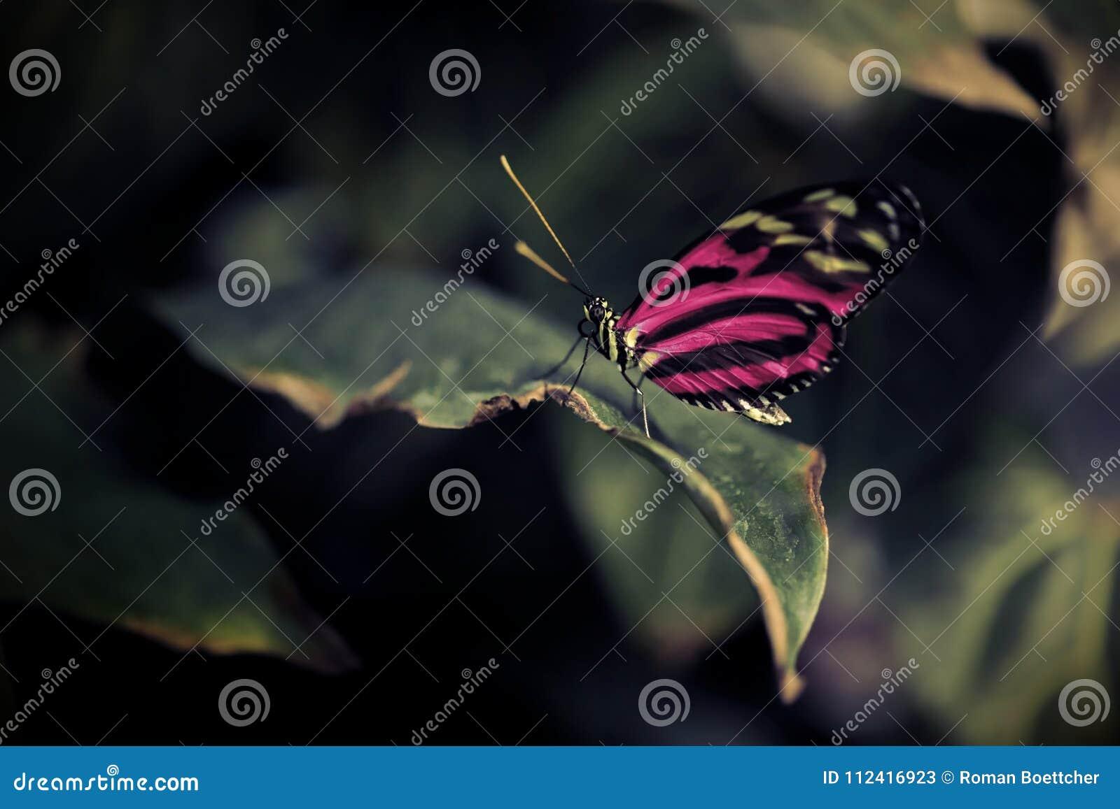 Close up da borboleta com as asas cor-de-rosa brilhantes alienadas que sentam-se em uma folha em contrastar sorrounding escuro