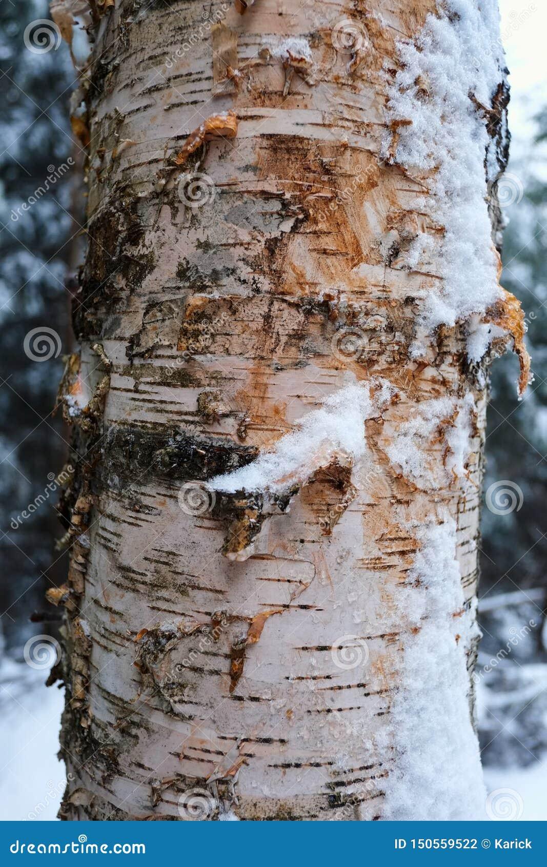 Close-up da casca de árvore do vidoeiro na floresta do inverno