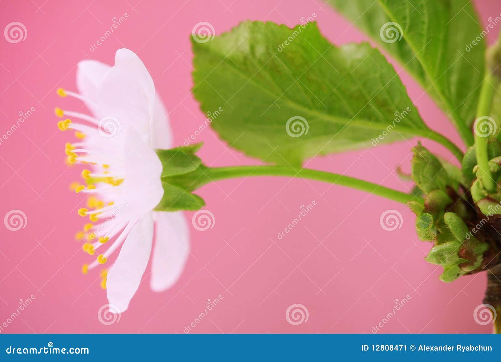Close-up da flor de cereja