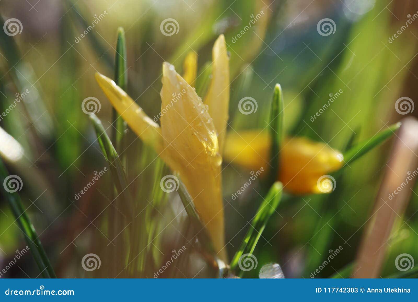 Close up da flor do vernus do açafrão com pingos de chuva