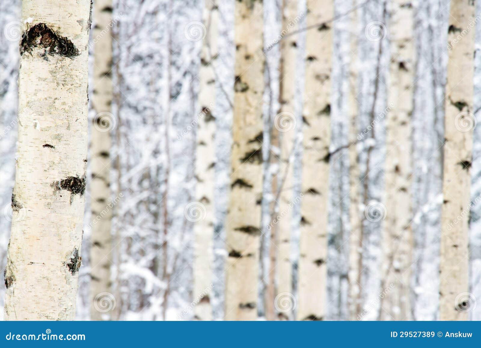 Close up da floresta da árvore de vidoeiro no inverno