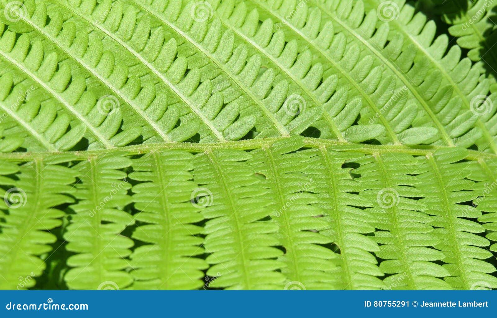 Close up da folha verde de uma planta da samambaia