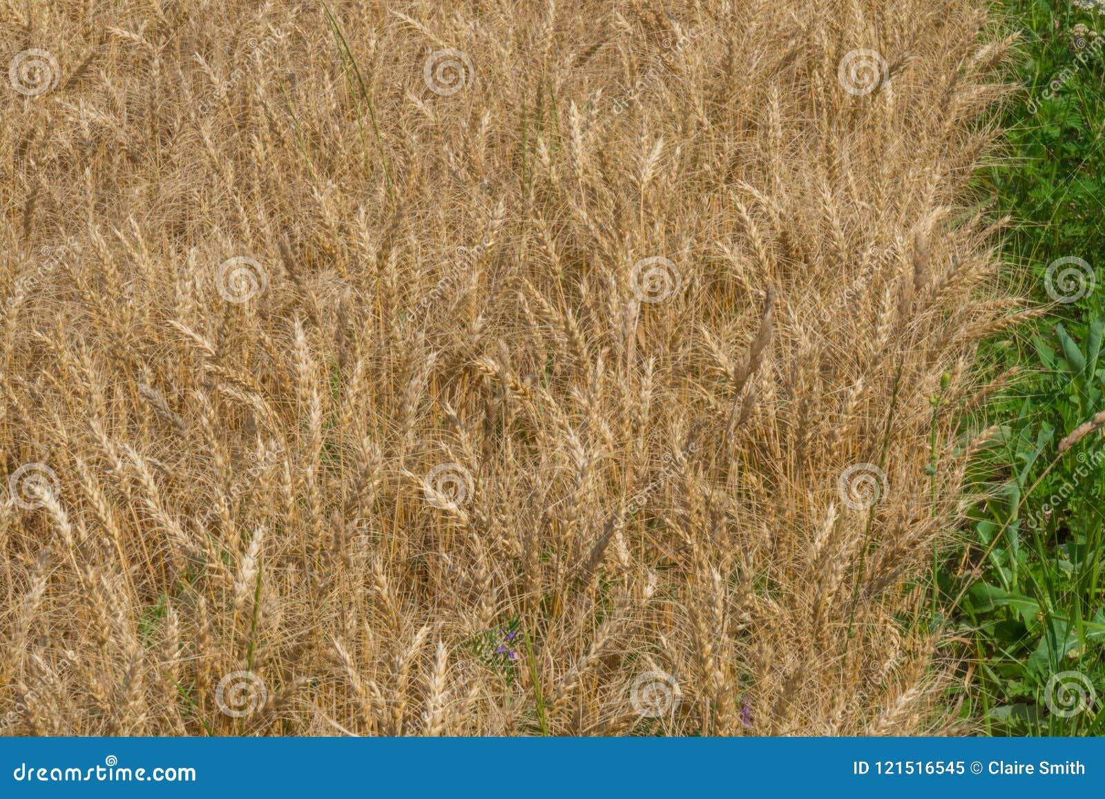 Close-up da grão madura do trigo do milho com whitespace para o texto