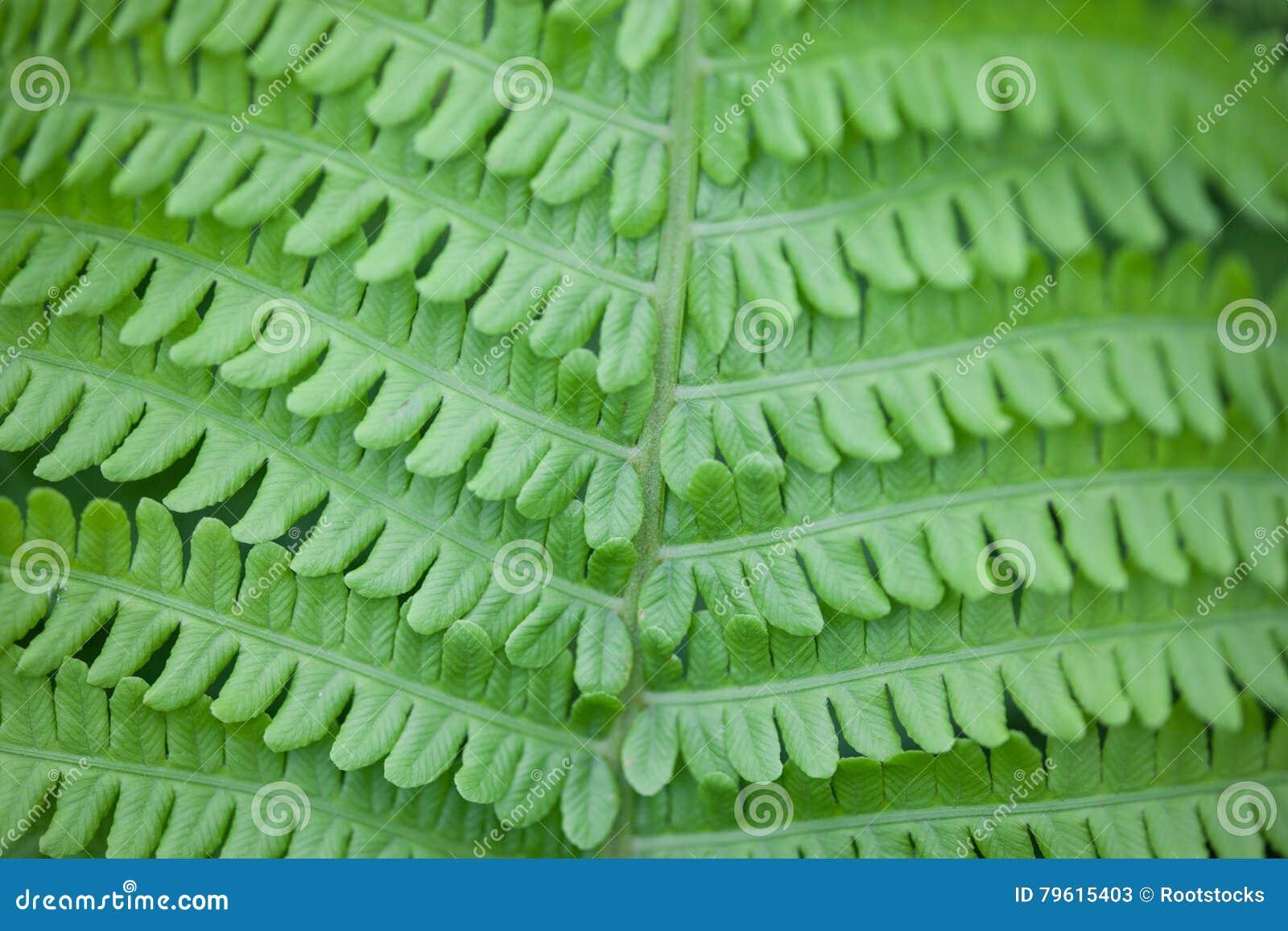 Close up da haste e das folhas verdes da samambaia