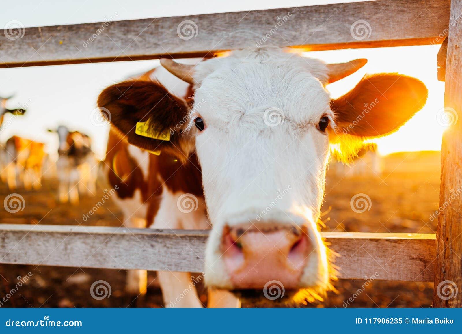 Close-up da vaca branca e marrom na jarda de exploração agrícola no por do sol Gado que anda fora no verão