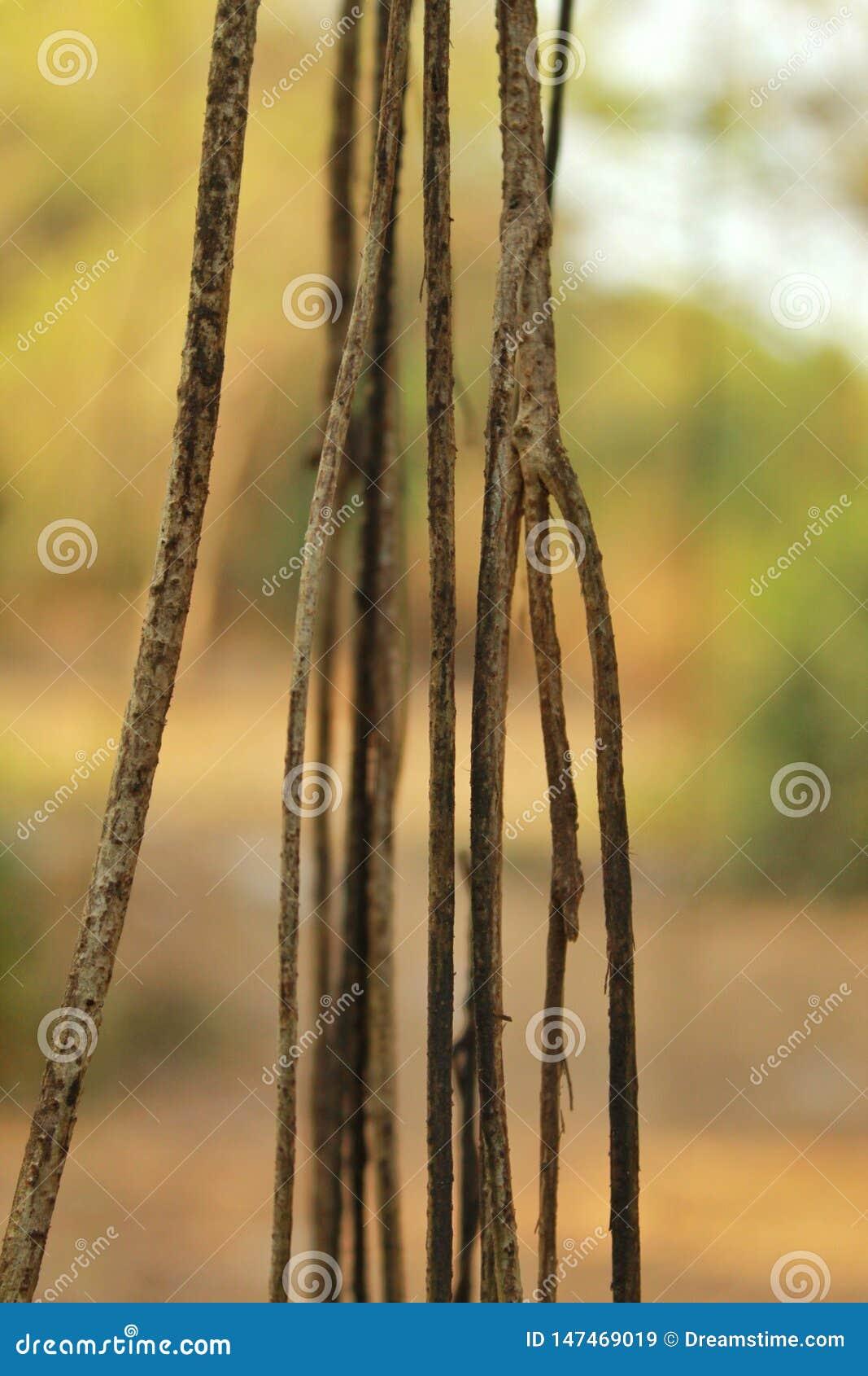 Close up da videira de suspensão na floresta