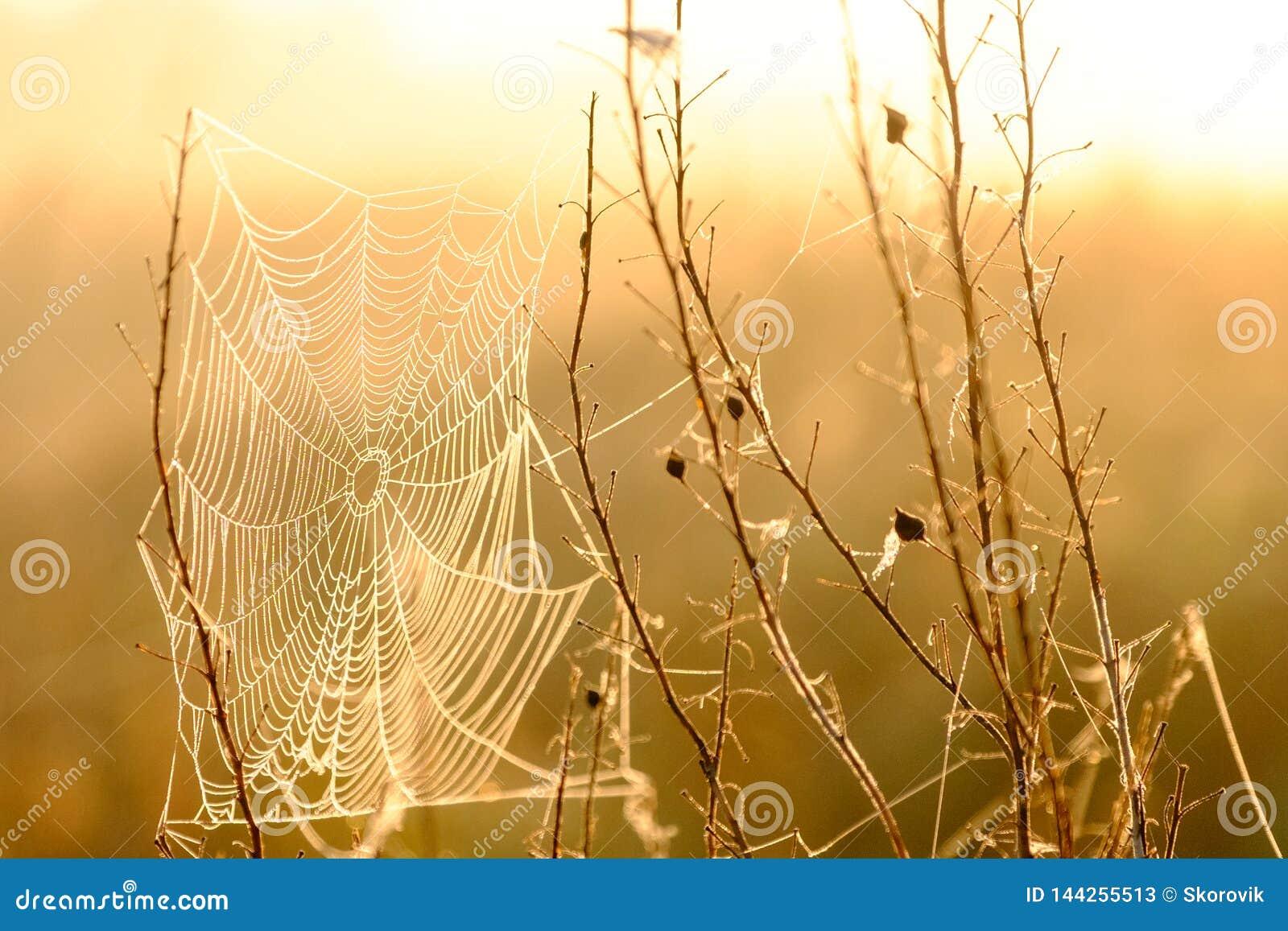 Close up da Web do ` s da aranha com gotas do orvalho no alvorecer Grama molhada antes do aumento do sol Web de aranha com gotas