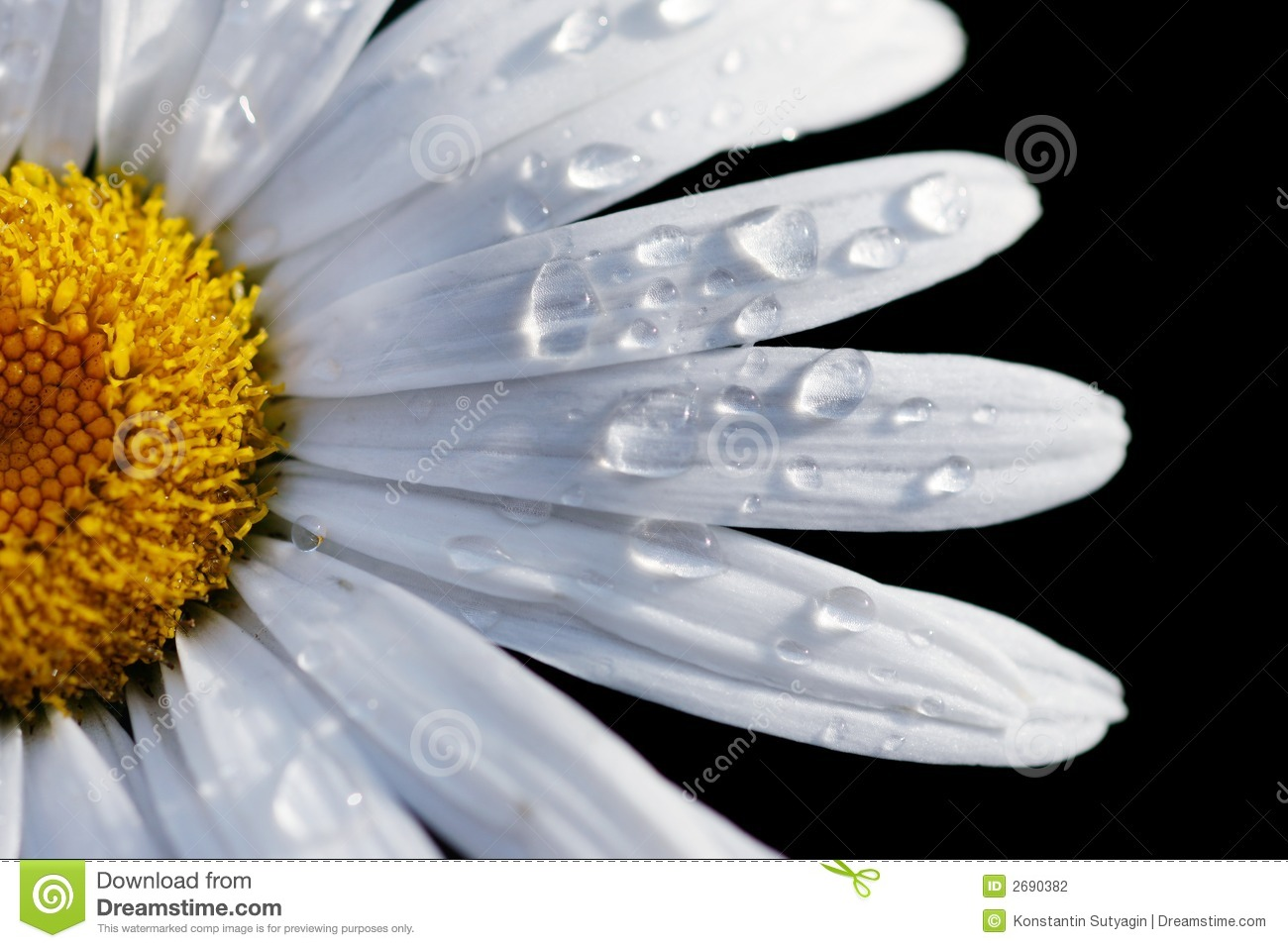 Close up of a daisy flower stock photography image 2690382 black close daisy drops flower dhlflorist Image collections