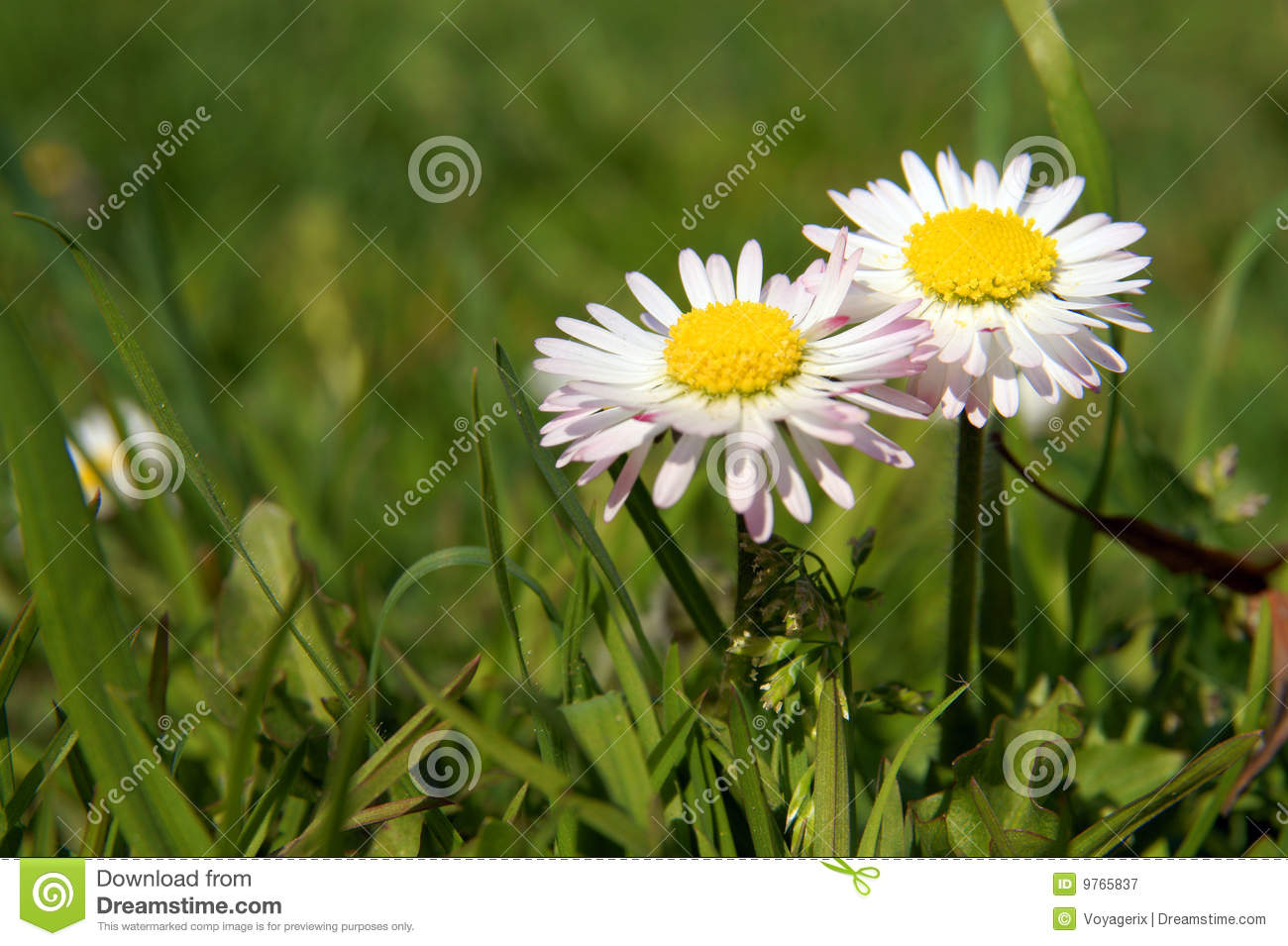 Close Up Of Daisy Flower Growing In Grass Stock Image Image Of