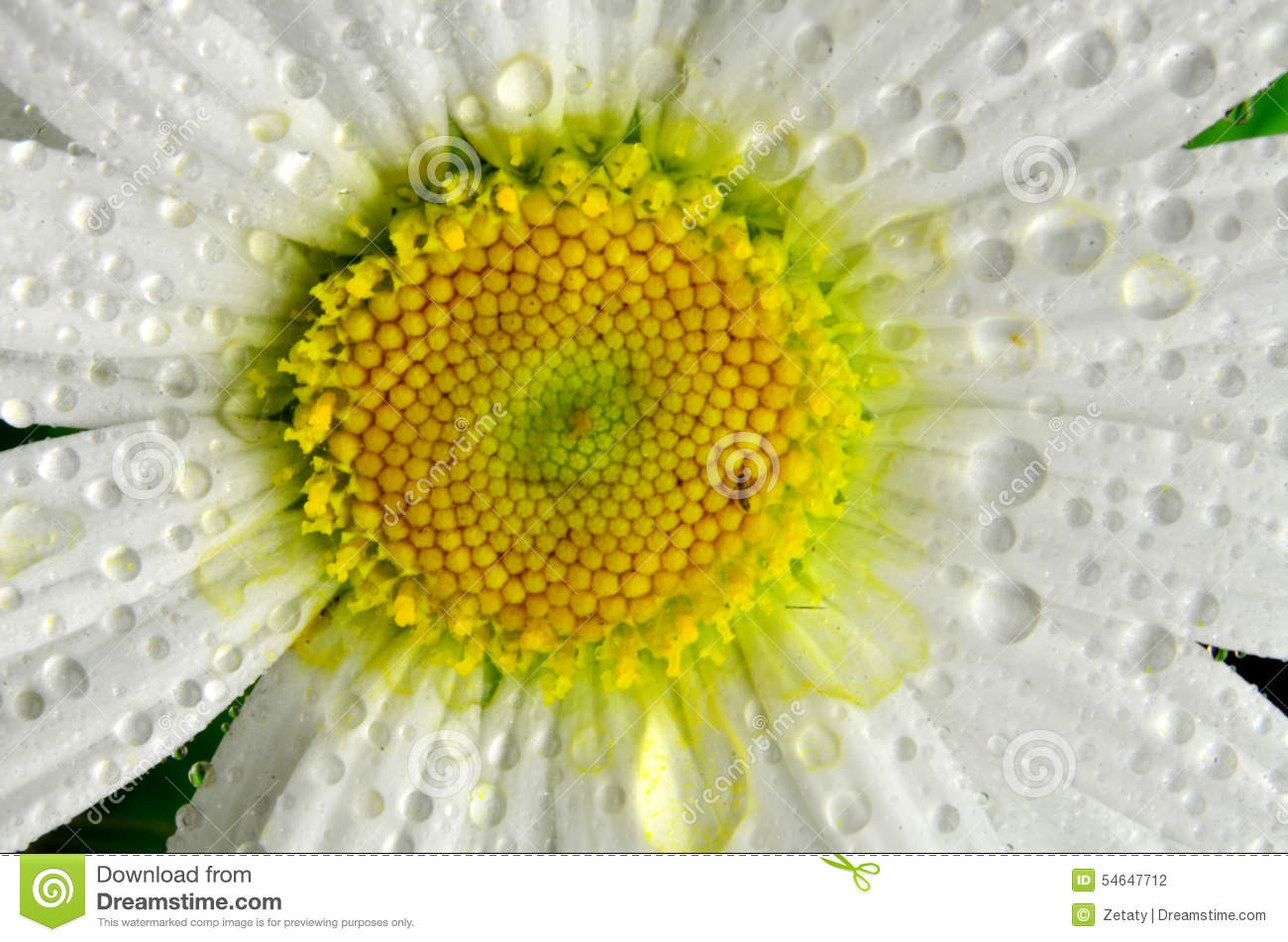 Close Up Of A Daisy Flower With Water Drops Stock Photo Image Of