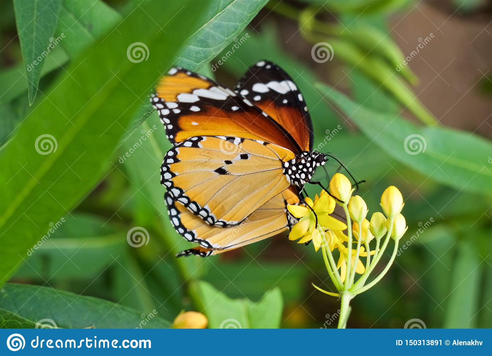 Close up Danaus chrysippus butterfly with yellow-orange wings sits on a yellow flower