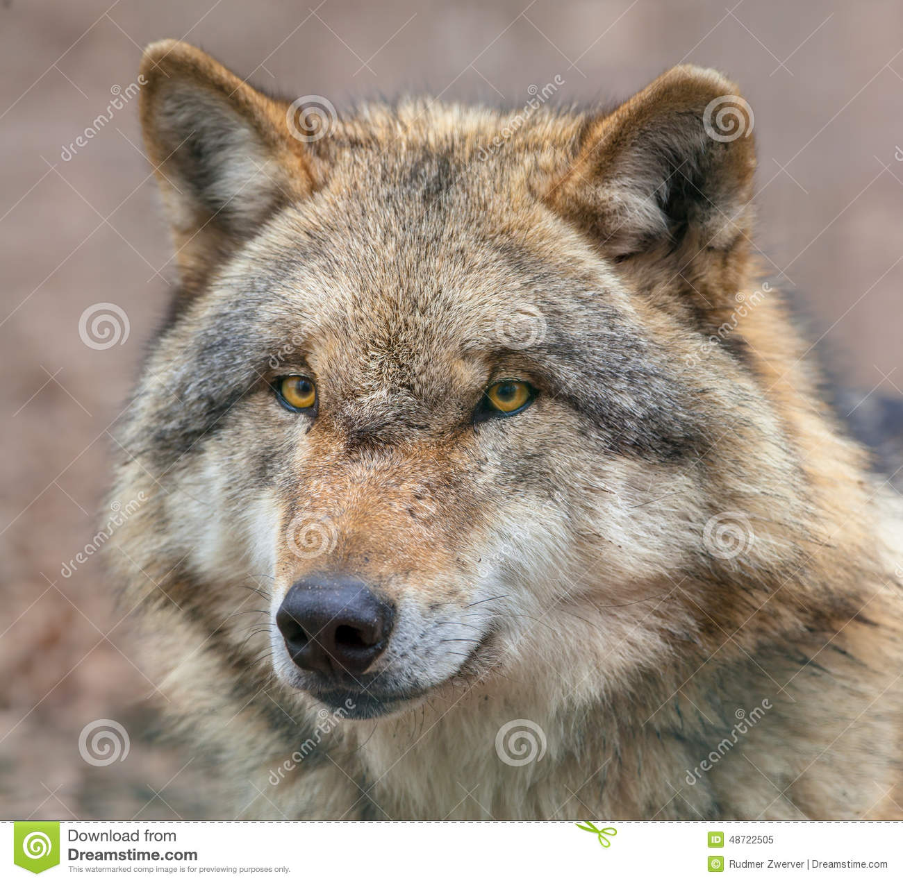 Close Up Of A Dangerous Grey Wolf Stock Image