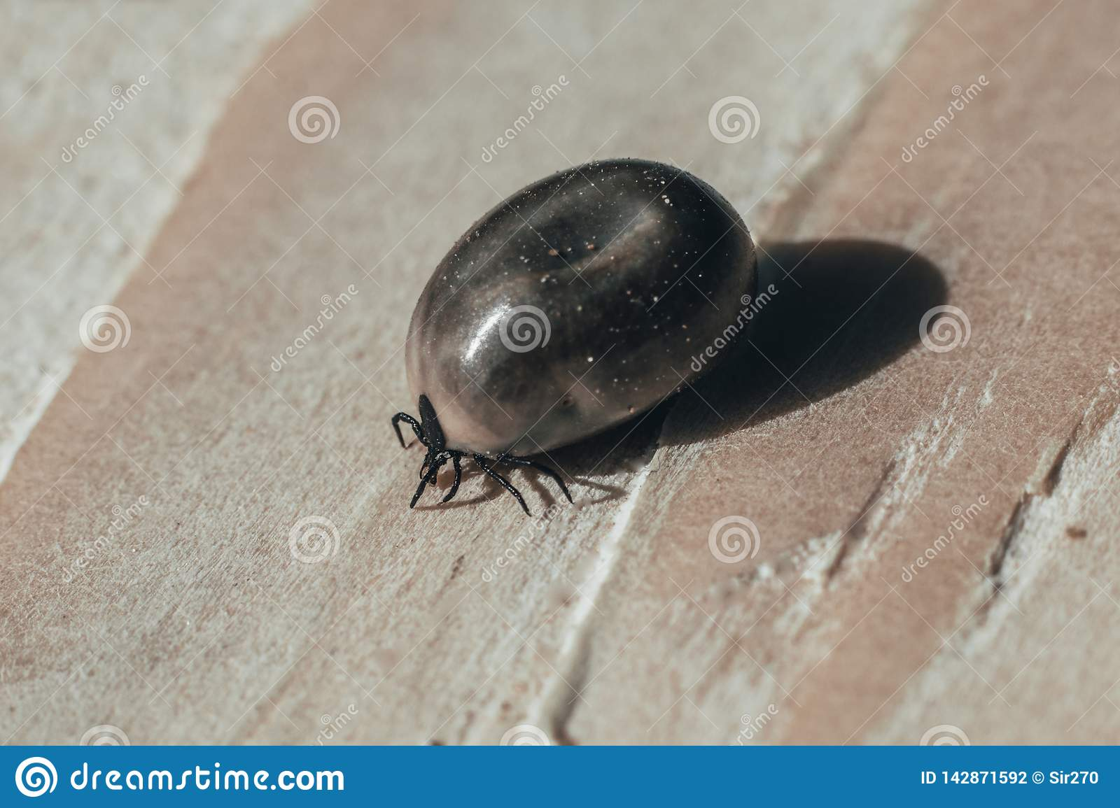close-up. Dangerous parasite and tick carrier, on wooden background. he drank a lot of blood