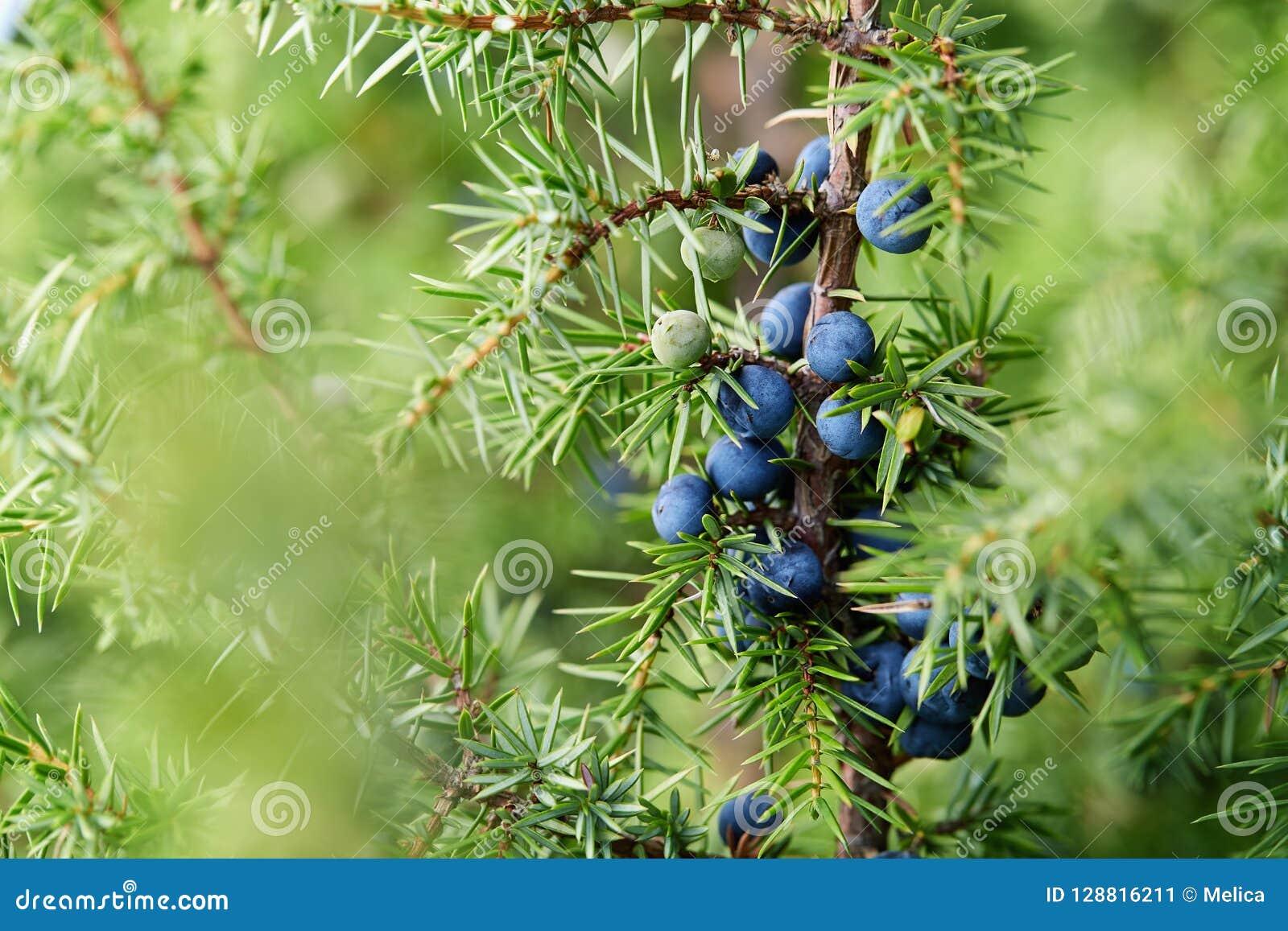 Close-up das bagas de zimbro que crescem na árvore